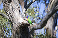 Rainbow Lorikeet at nest (16654675763).jpg