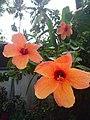 Rainy hibiscus.jpg