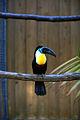 Ramphastos vitellinus -Matsue Vogel Park-8a.jpg