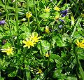 Ranunculus ficaria Flowers and leaves.jpg