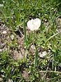Ranunculus kuepferi04.jpg