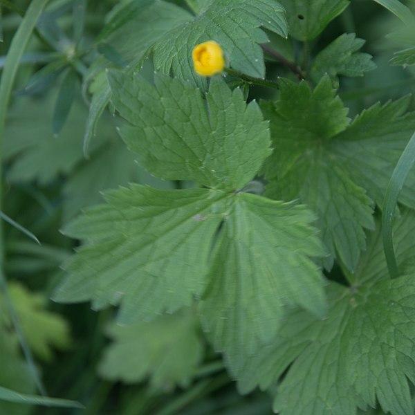 File:Ranunculus repens-Renoncule rampante-Feuille-20180516.jpg