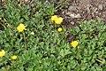 Ranunculus repens in Jardin Botanique de l'Aubrac 05.jpg