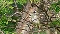 Rattling Cisticola (Cisticola chiniana) (6017305508).jpg