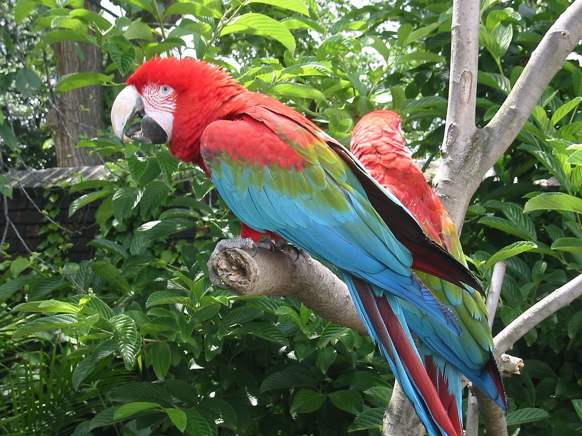 Red And Green Macaw Simple English Wikipedia The Free