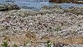Red-billed gull colony, Kaikōura, New Zealand 08.jpg
