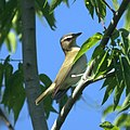 Red-eyed Vireo (6952608492).jpg