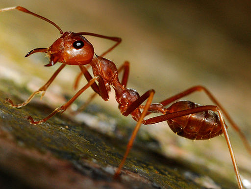 Red Ants (1214176165)