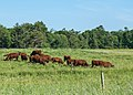 Red Poll Cattle (14335716468).jpg