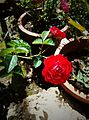 Red Rose plant by sankar.jpg