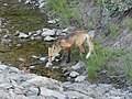 Red fox drinking 01.JPG