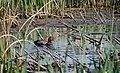 Redhead Male (7337771804).jpg