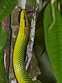 Redtail Rat Snake (Gonyosoma oxycephalum) (15435236877).jpg