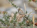 Reed Bunting (Emberiza schoeniclus) (49305261111).jpg