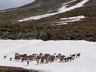 Deer - Reindeer herds, standing on snow to avoid flies