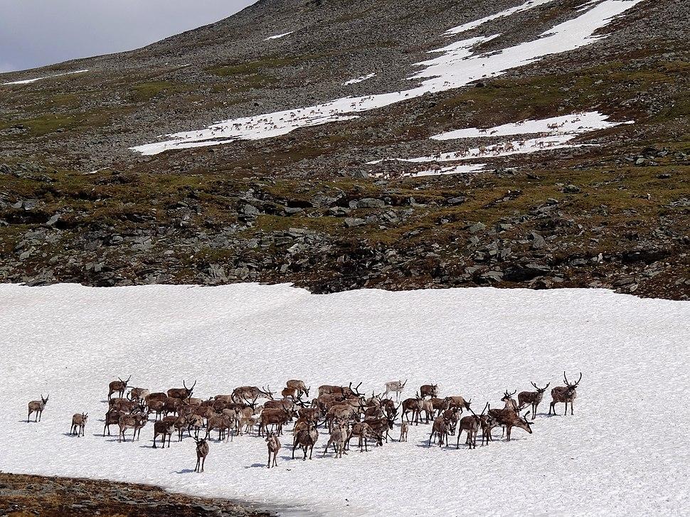 Reindeer-on-the-rocks