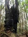 Remains of a Big Tree 大樹遺跡 - panoramio (1).jpg