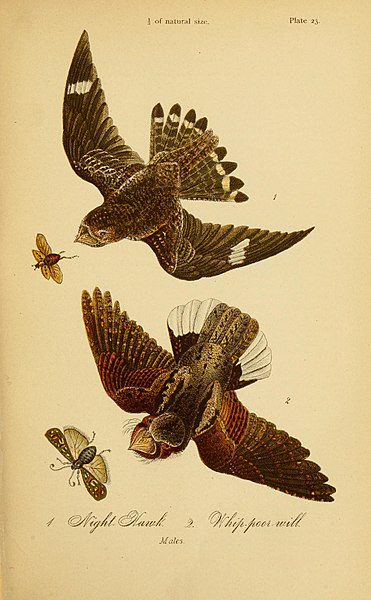 File:Report on the birds of Pennsylvania (Plate 23) (7871808386).jpg