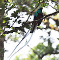 Resplendant Quetzal (6901579172).jpg
