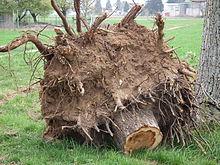 Souche wikip dia - Souche d arbre decorative ...