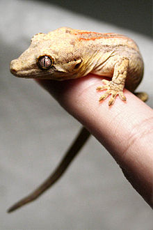 Rhacodactylus Geckos 220px-Rhacodactylus_auriculatus