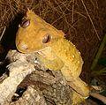 Rhacodactylus ciliatus male.jpg