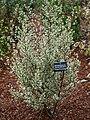 Rhamnus alaternus argenteovariegata.jpg