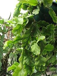 Rhipsalis crispimarginata (2).jpg