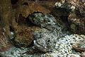 Rhodes Aquarium - Scorpaena porcus.jpg