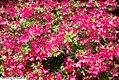Rhododendron Chanticleer 2zz.jpg