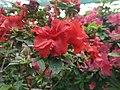 Rhododendron cv. Kiev Grishko 08.jpg