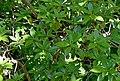 Rhododendron davidsonianum 03.jpg