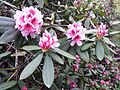 Rhododendron emerging - Flickr - brewbooks (4).jpg