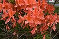 Rhododendron japonicum 02.jpg