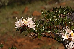 Rhododendron occidentale 4730.JPG