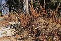 Rhododendron tomentosum 1047.JPG