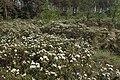 Rhododendron tomentosum kz11.jpg