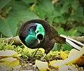 Ribbon-tailed Astrapia male. (Astrapia mayeri) (48941079622).jpg