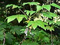 Ribes bracteosum 26340.JPG