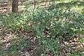 Ribes uva-crispa kz02.jpg
