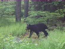 Photo of a large black bear walking through a grassy clearing in the woods, with the trunks of several trees are visible.