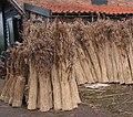 Riet (dakdekkersriet) Phragmites australis.jpg