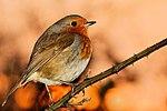 Robin - RSPB Minsmere (31572492665).jpg
