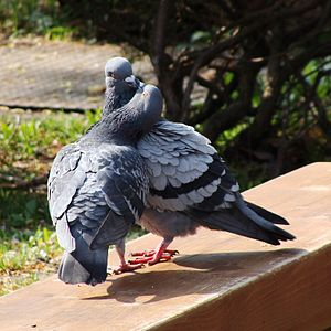 Columbidae - Rock pigeon courtship