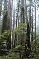 Rockefeller Grove Redwoods2.jpg