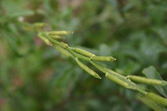 Eruca sativa - Image: Rocket Salad, Arugula, Roquette, Rucola, Rugula (Eruca vesicaria subsp. sativa)