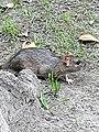 Rodentia - Rattus norvegicus - 3.jpg