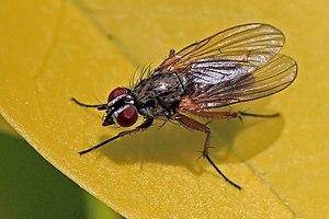 Anthomyiidae - Root-maggot fly  Hydrophoria linogrisea