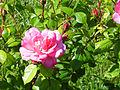 Rosa 'Bordure Vive' Delbard RPO.jpg