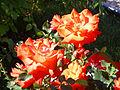 Rosa 'DELviras' Delbard 1986 RPO.jpg